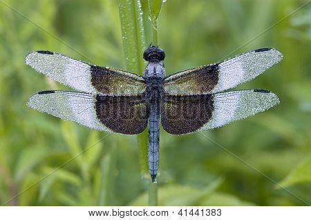 Blue Dragonfly with Dew