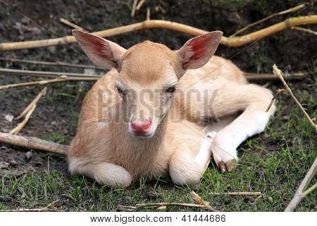 Calf White Stag