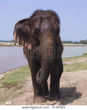 Asian Elephant, Nepal