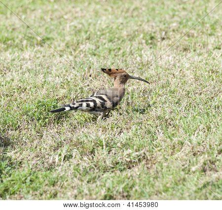 Hoopoe Bird In A Garden