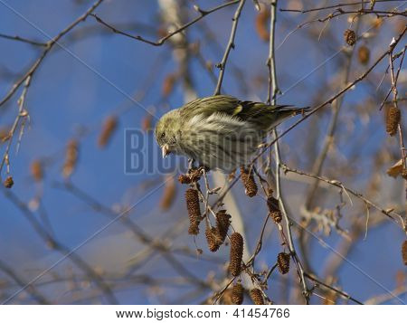 Female Eurasian Siskin Fed Seeds On A Branch Of Birch In Winter.