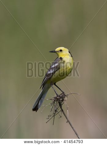 Male Citrine Wagtail Sitting On A Dead Branch Of Grass.