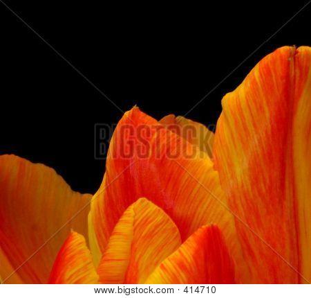 Tulip Mountain