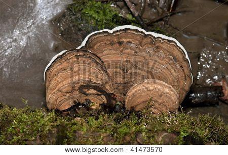 Artist Bracket tree mushroom