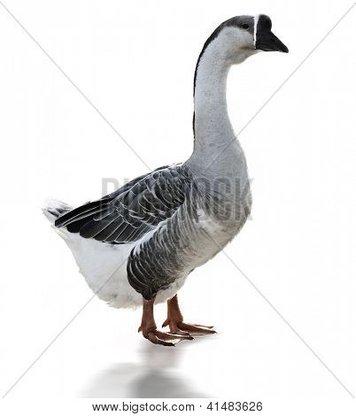 Swan Goose Anser Cygnoides On White Background