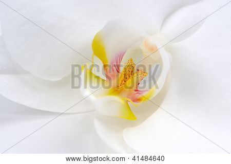 Beautiful White Orchid Flower Macro