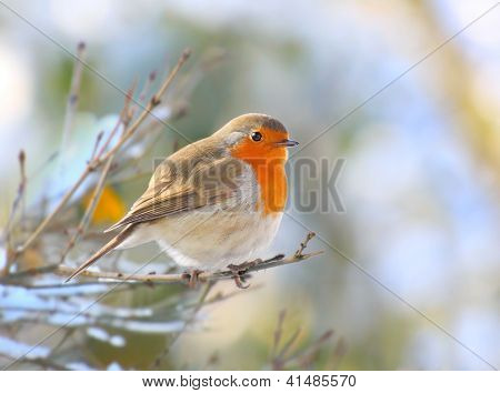 The European Robin (Erithacus rubecula) sitting on the twig. Closeup with shallow DOF.