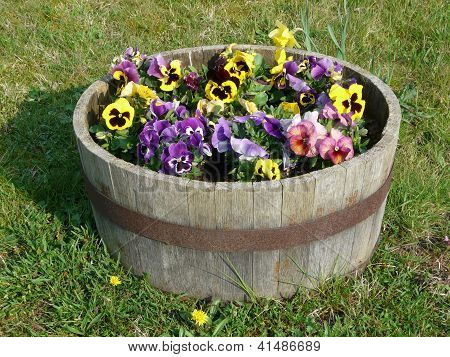 Pansies In A Wooden Tub