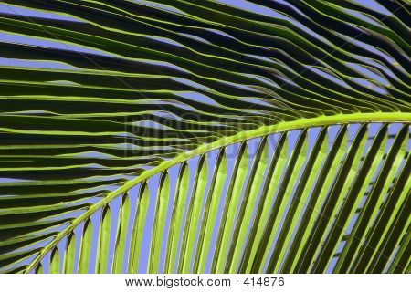 Tropical Maui Palm Tree Frond