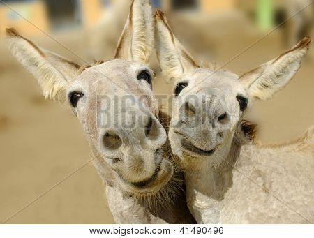 Duo de burro