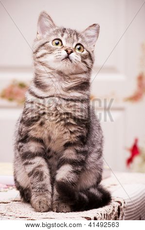 A beautiful young cat Scottish rock on the background of