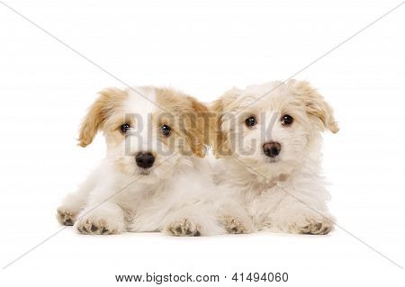Two Puppies Laid Isolated On A White Background