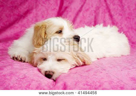 Two Puppies Laid Sleeping On A Pink Background