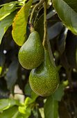 stock photo of avocado tree  - closeup of two avocados in a tree - JPG