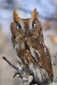 stock photo of screech-owl  - Portrait of an Eastern Screech Owl Megascops asio - JPG