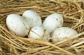 Organic Domestic White Eggs In Straw Nest poster