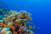 picture of fire coral  - coral reef with fire coral and exotic fishes anthias at the bottom of red sea in egypt  - JPG