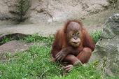 foto of leipzig  - Diesen Oran Utan habe ich im Leipziger Zoo aufgenommen - JPG