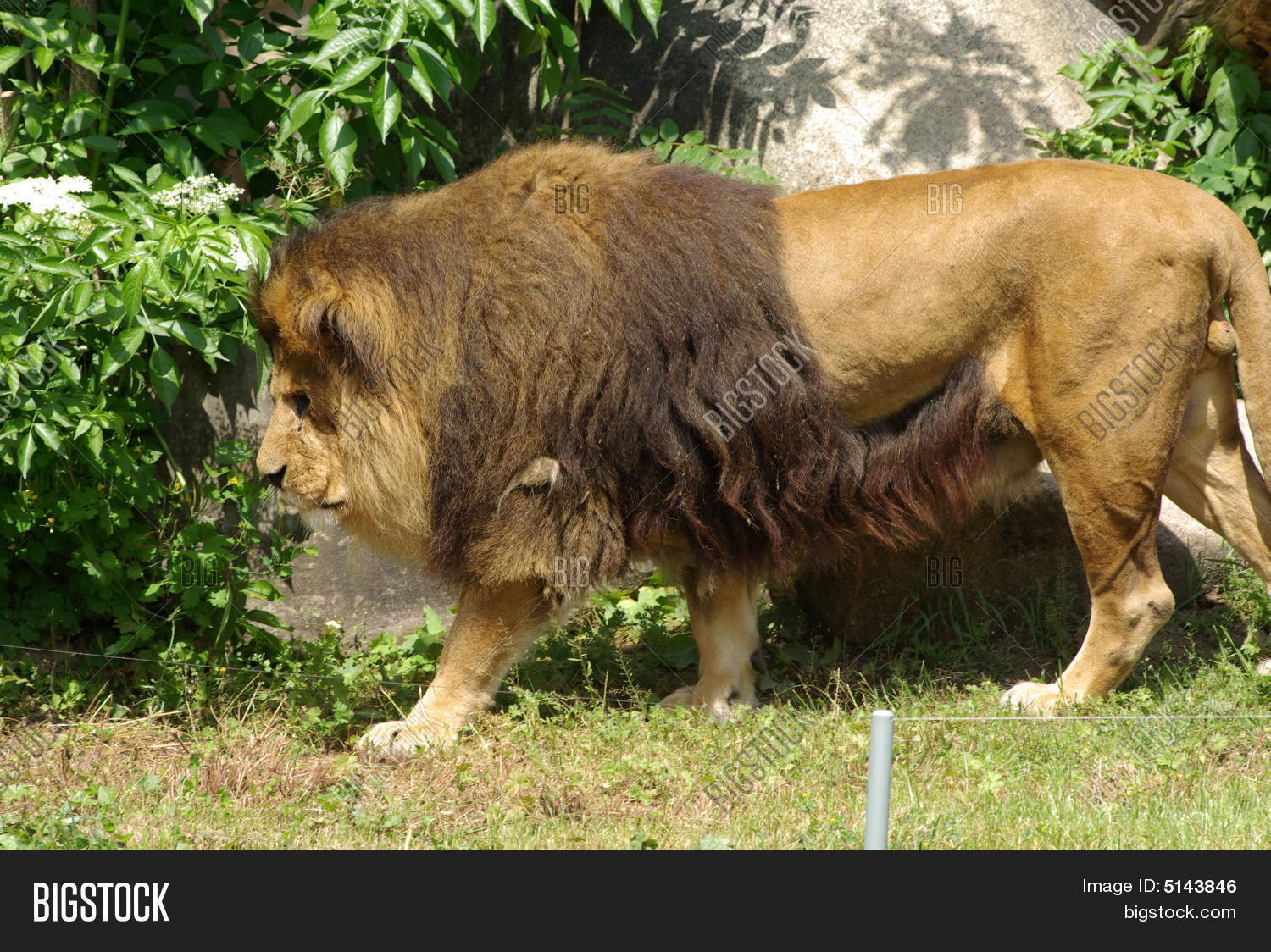 Muscle Lion Walking Image & Photo | Bigstock
