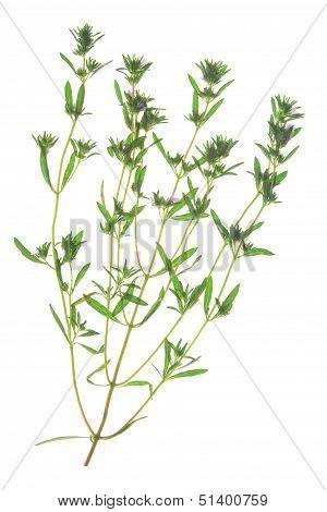 Garden Savory (Satureja hortensis)