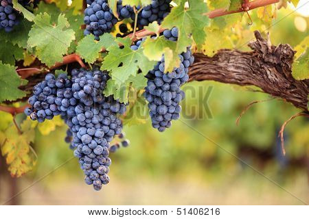 Wine grapes on old vine close-up