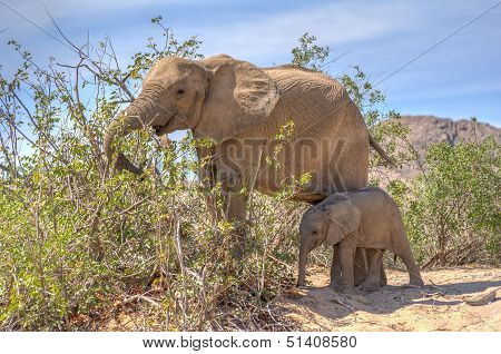 Female African Desert Elephant With Juvenile In Hoanib River Area, Namibia