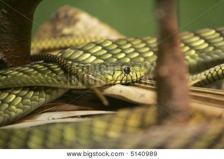 Green Snake Closeup