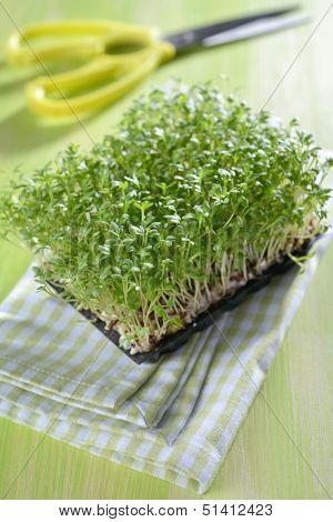 Garden cress on a table