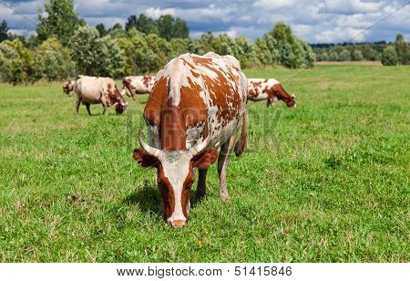 Cows Graze In The Pasture On A Summer Day
