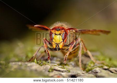 wasp outdoor (vespa cabro)