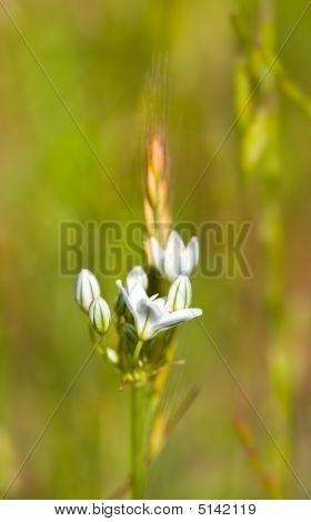 White Brodiaea, Triteleia Hyacinthina, Or Wild Hyacinth