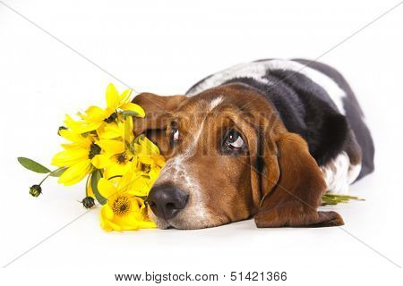 Basset hound and flowers yellow ���  chamomile