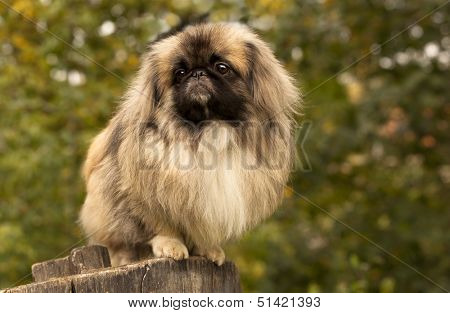 Adult Pekingese posing on a nature  background