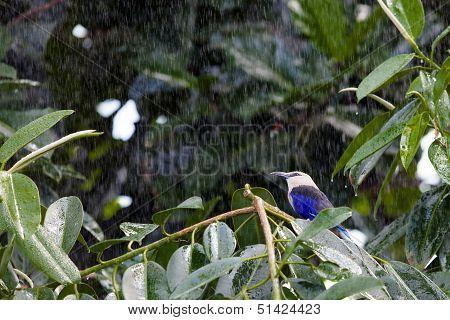 Blue Bellied Roller In The Rain