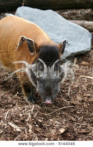 Male Red River Hog