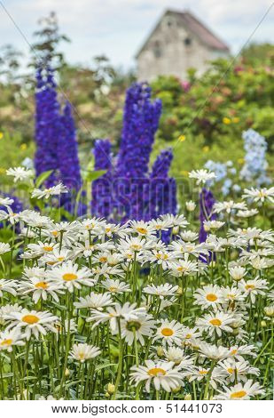 Daisies, delphinium and roses in a country garden.
