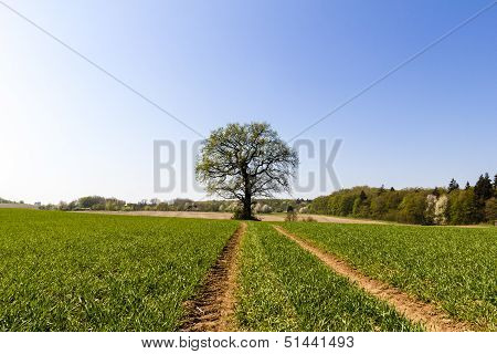 Skidmarks In A Spring Field Leading To An Old Oak
