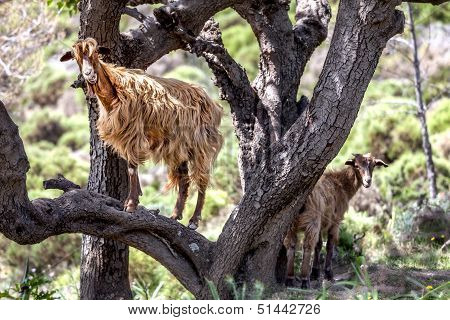 Wild Brown Goat In A Tree