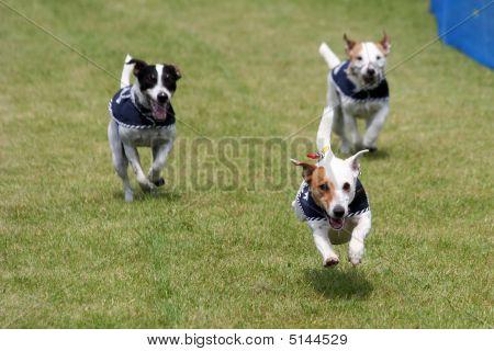 Jack Russel Race