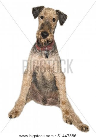 Airedale dog older isolated on white