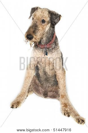 Airedale Terrier older isolated on white