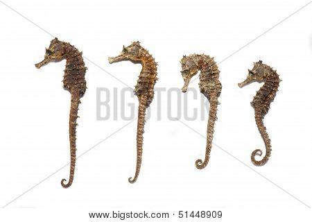 Four Sea Horses