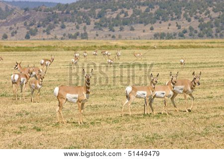 Herd of North American Pronghorn