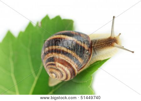 Snail on leaf isolated on white