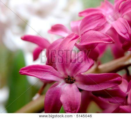 Red Hyacinth