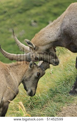 Wild alpine ibex - steinbock fight