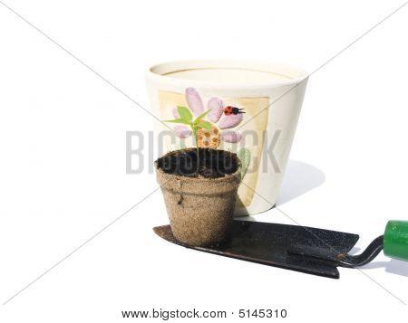 Bell Pepper Seedling On Shovel For Replanting