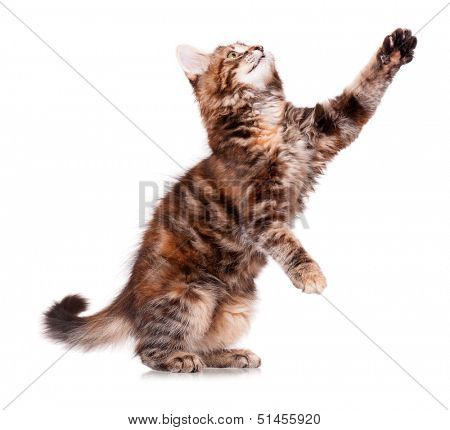 Cute little kitten, isolated on white background