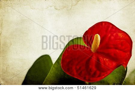 Red anthurium on vintage background