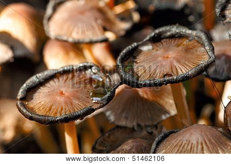 poisonous mushrooms Entoloma cetratum